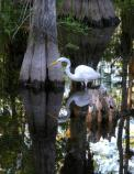 Great Egrets can be found in a variety of aquatic habitats in the Everglades.