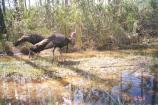 Two Wild Turkeys walking through the marsh