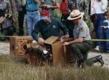 Wild Turkeys being released into Everglades National Park while the general public watches.