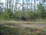 Wild Turkey photographed with a remote motion-activated camera in Everglades National Park.