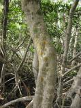 Red mangrove bark is a common substrate for various colorful species of crustose lichens.
