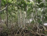 Red mangrove bark and roots are excellent habitat for various species of crustose lichens.