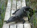 American alligator blocking the boardwalk that leads to the hydrologic monitoring station in Taylor Slough.