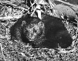 Florida mink. Date and location of photograph unknown. Original b&w, 9 x 10 in. Photo courtesy of State Library and Archives of Florida. Shelf number: S1553B2F1. Photo not available through the National Park Service for public use.