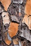 Close-up view of the bark of a slash pine tree.