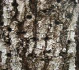 Close-up view of the bark of a West Indies mahogany tree.