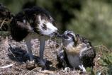 An Osprey feeds its chick atop a nest in Everglades National Park.