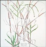 Everglades crabgrass (Digitaria paucifolia)