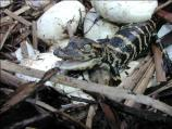 Newly hatched American alligator surrounded in its nest by unhatched eggs.