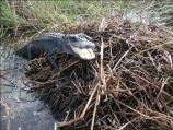 Alligator protecting its nest.