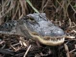Close-up view of American alligator on top of nest.