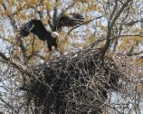 Adult and Flegling on nest