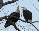 Eagle adult pair