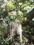 Spanish moss on a live oak along the Thomas Hariot Trail