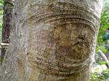 An eye-like pattern in the bark of a tree at Fort Raleigh National Historic Site