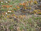 A male Smith's Longspur's black and white head stand out on the tundra and spring flowers.