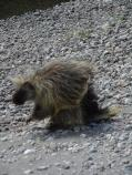A porcupine with quills relaxed stands on a gravel bar.