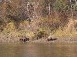 Two grizzlies walk along the Kobuk river in the fall.
