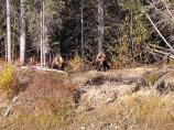 Two grizzlies come out of the boreal forest.