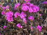 Deep pink Lapland Rosebay growing in alpine tundra.