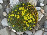 A bright yellow Alpine Hawksbeard sprouts in a gravel bar.