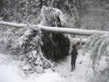 Large spruce felled by winter storm