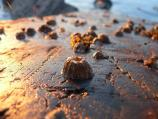 View of barnacles at low tide with sun setting in background.
