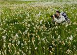 Alaska Cottongrass