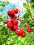 Red baneberry berries