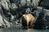 Brown bear at water