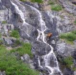 Brown bear crosses a waterfall