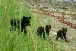 Black Bears in Bartlett Cove