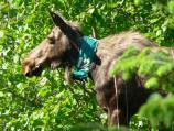 Radio collared moose