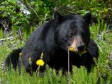 Black bear laying down biting off the heads of dandelion flowers.