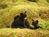 First year black bear cubs
