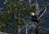 Bald eagle sitting in cottonwood tree
