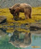 Young brown bear in intertidal zone turning over rocks to find a meal of barnacles or other intertidal life