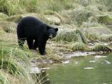 Black bear at water's edge
