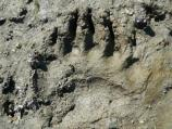 Brown bear track in the mud