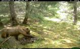 Brown bear approaches the scent.