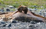 Brown bear feeding on the bonanza.