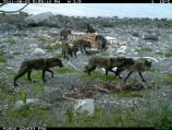 Wolves visit the carcass