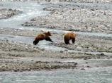Two brown bears around streams