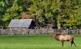 An elk with large antlers stands in the foreground. Historic farm buildings and split rail fence in background