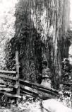 Laura Thornburgh stands beside the trunk of a large, vine-covered tree.