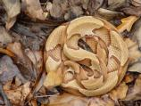 Copperhead among leaf litter.