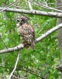 Barred Owl at Barataria Preserve.