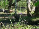 An American alligator lies in the swamp waters near a giant blue iris in bloom.