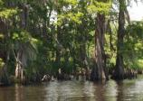 Baldcypress trees along Kenta Canal on a breezy spring afternoon.