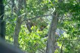 Adult brown bears can climb trees